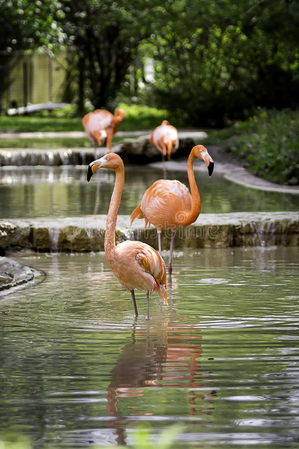 Pink Flamingos. Standing in a pond royalty free stock photos
