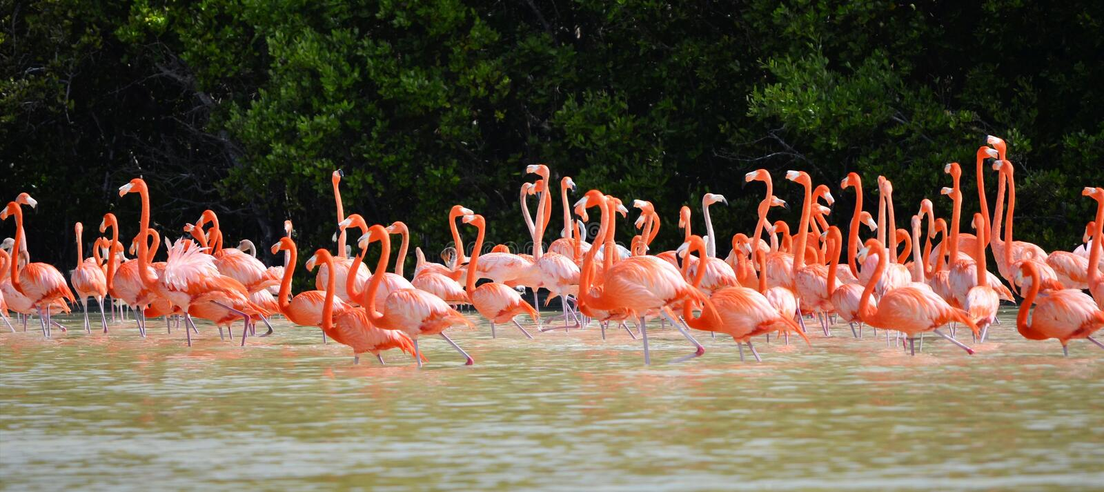 Pink flamingos. View of pink flamingos in Celestun Mexico royalty free stock image