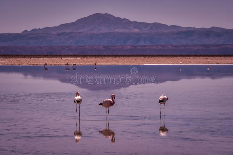 Pink flamingos wading in Atacama Park, Chile. Three pink flamingos wadingin a tranquil lake with reflections and mountain backdrop in Atacama Park, Chile royalty free stock image