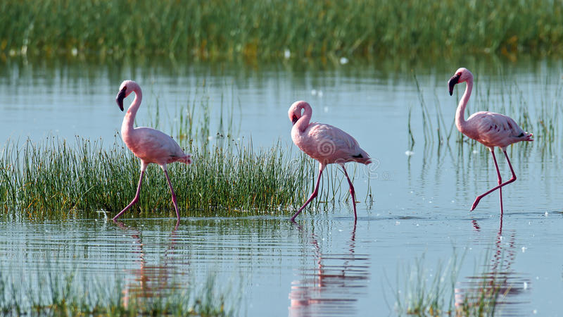 Download Pink Flamingos Walks On The Water Stock Image - Image: 15609925