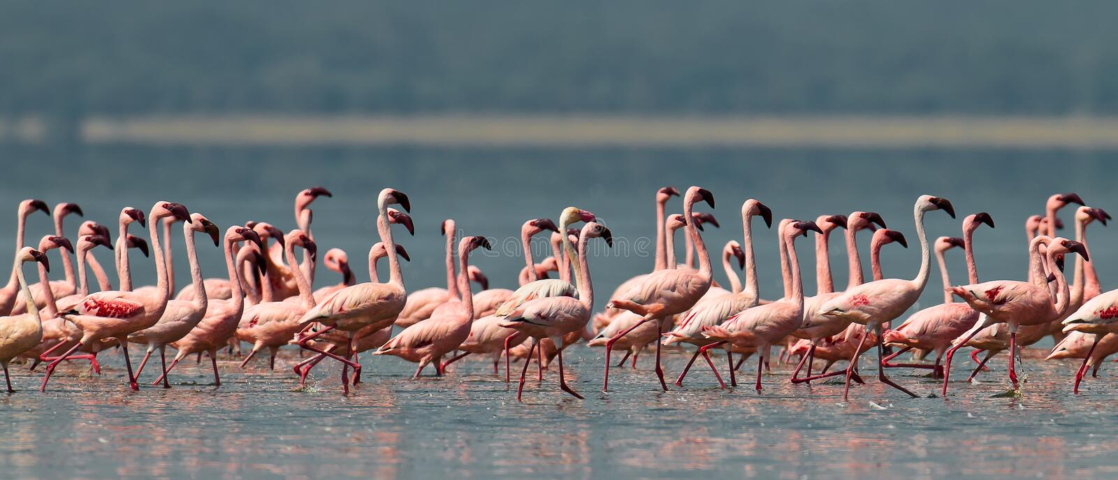 Download Pink Flamingos Walks On The Water Stock Photo - Image: 15610120