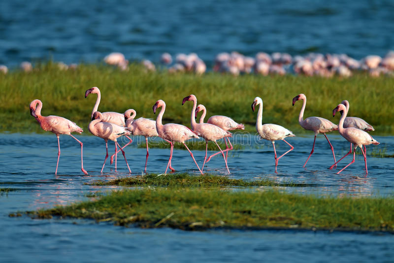Download Pink Flamingos Walks On The Water Stock Image - Image of park, splash: 15610171