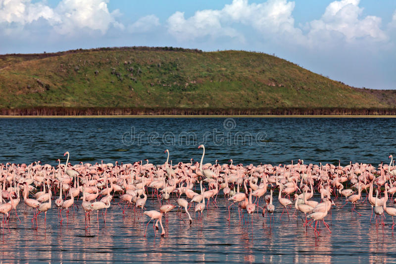 Download Pink Flamingos Walks On The Water Stock Image - Image: 15610411