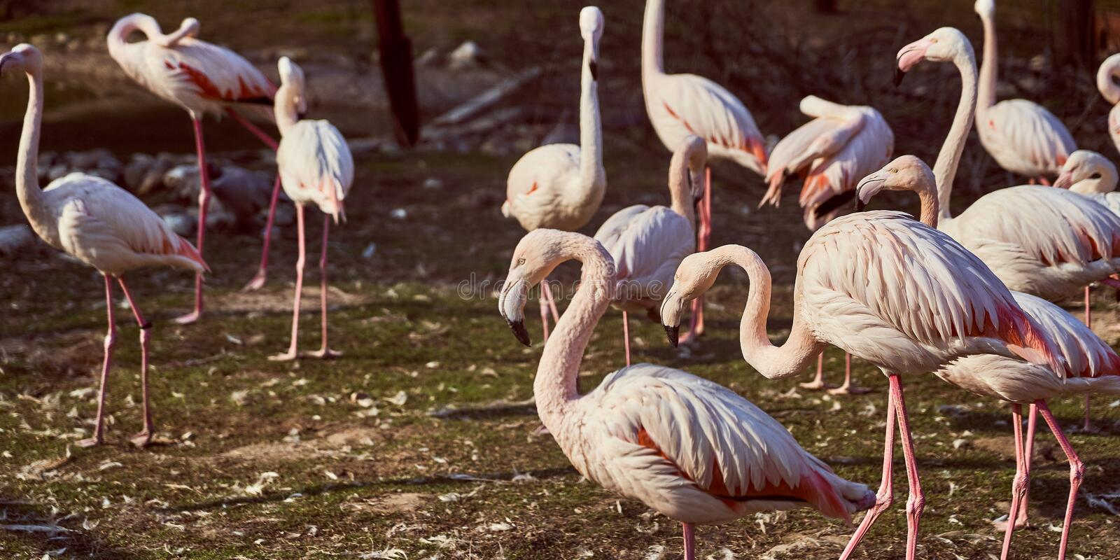 Pink flamingos in the zoo flock royalty free stock photography