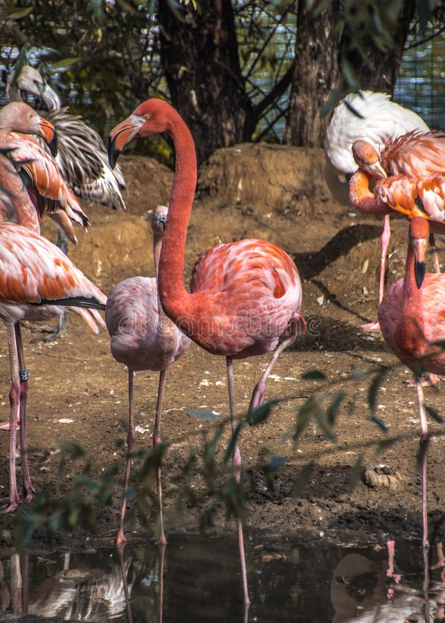 Pink flamingos at the zoo in Moscow. Pink plumage. Standing on one leg. Grace and grace. Ornithology royalty free stock image