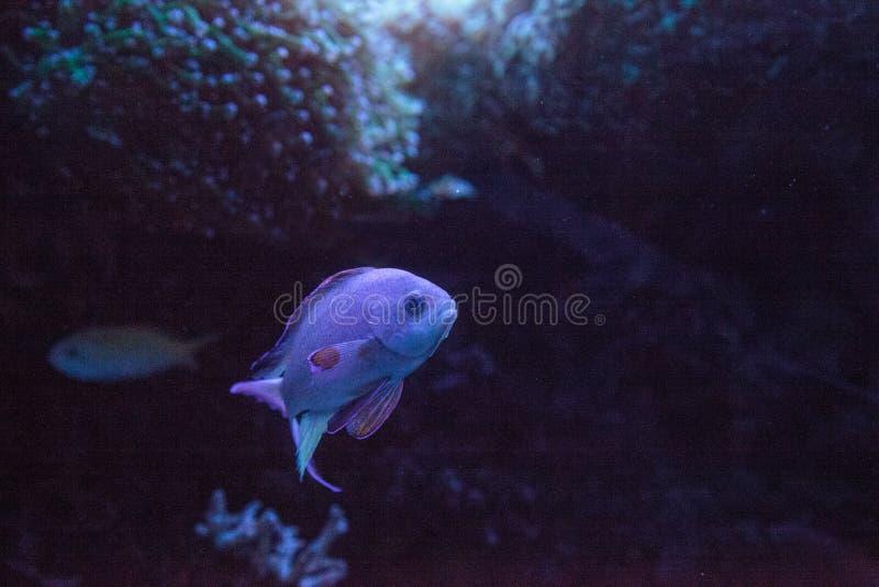 Pink flasher wrasse Paracheilinus carpenteri royalty free stock image