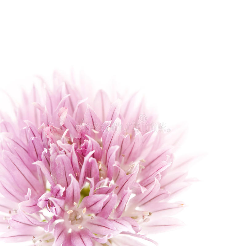 Pink flower. Closeup of a pink chives flower, ideal for illustrating concepts such as freshness and elegance royalty free stock image