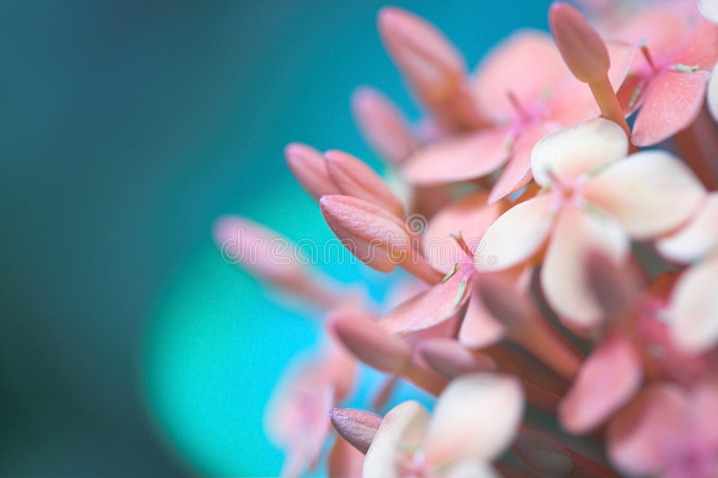 Download Pink flower stock photo. Image of macro, blue, pink, abstract - 1588632