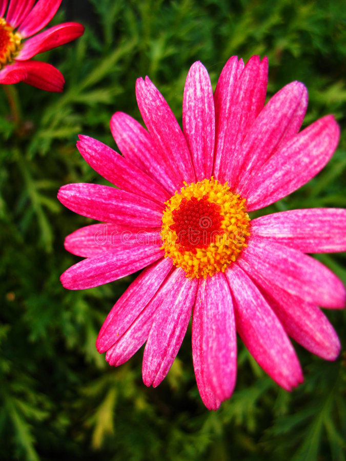 Free Pink Flower Royalty Free Stock Images - 1835449