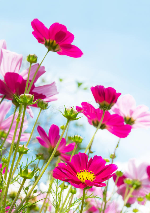 Pink flower. Close up of pink cosmos flower stock photos