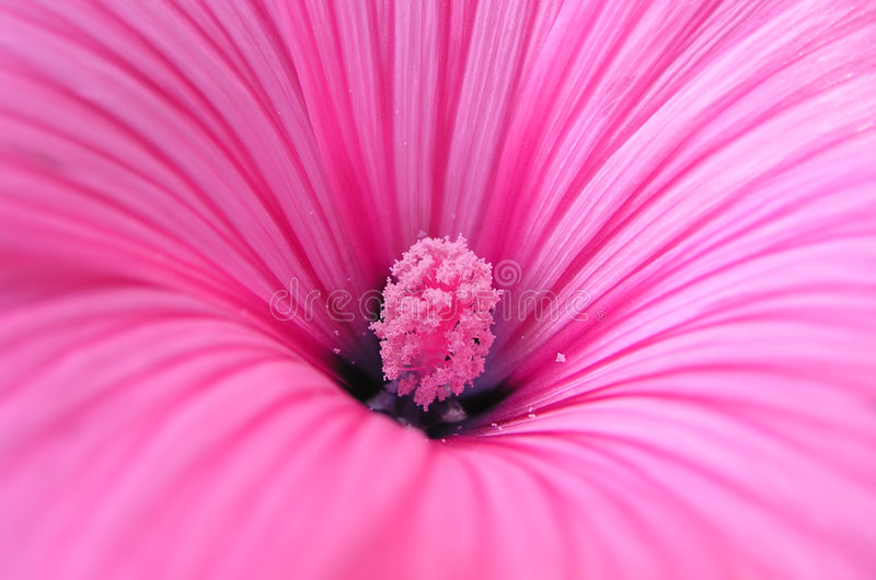 The pink flower royalty free stock photography
