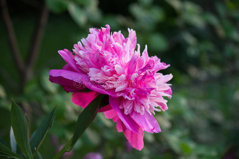 Pink flower. Pink peony flower in the garden royalty free stock photography