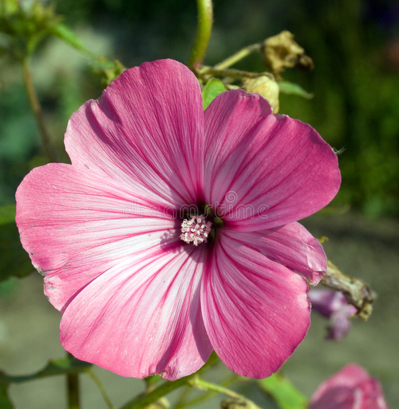 Free Pink Flower Royalty Free Stock Photography - 9820207