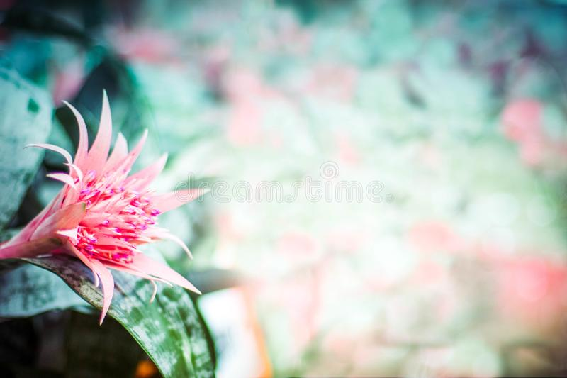 Pink flower Aechmea Bromeliaceae on gentle light green-pink blurred background with bokeh texture in pastel vintage style.  royalty free stock image