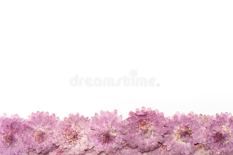 Pink flower background isolated on white. Abstract blooming flow. Ers royalty free stock image