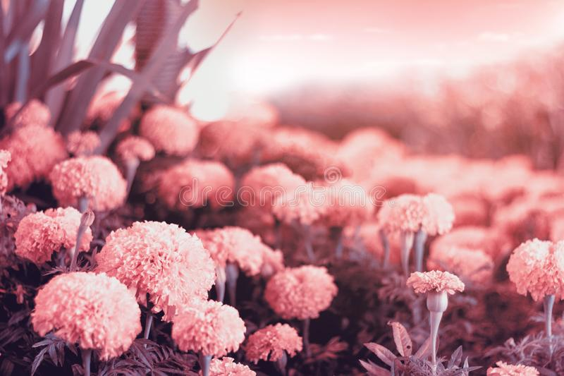 Pink flower background. Romantic of pink nature landscape. Flower royalty free stock photo