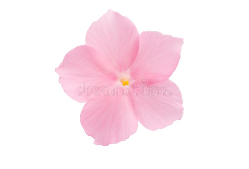 Pink flower of balsam isolated. On white background stock images