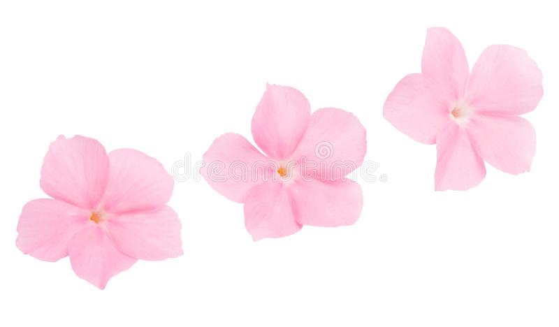 Pink flower of balsam isolated. On white background royalty free stock photo
