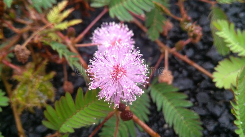 Pink flower in Bangalore. Growing near the asphalt royalty free stock photo