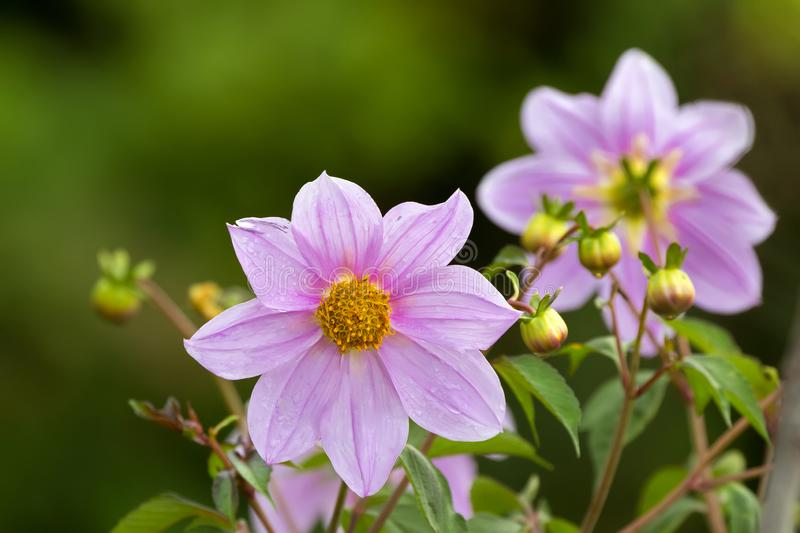 Pink flower of Bell tree dahlia growing at Ngorongoro Crater Conservation Area in Tanzania, East Africa stock photography