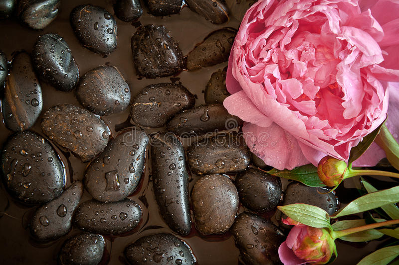 Pink flower on black pebbles royalty free stock photo