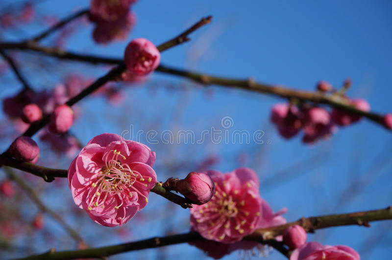 Pink flower blooms of the Japanese ume tree. Pink flower blooms of the Japanese ume apricot plum tree, prunus mume, in the spring royalty free stock images