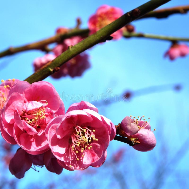 Pink flower blooms of the Japanese ume tree royalty free stock image