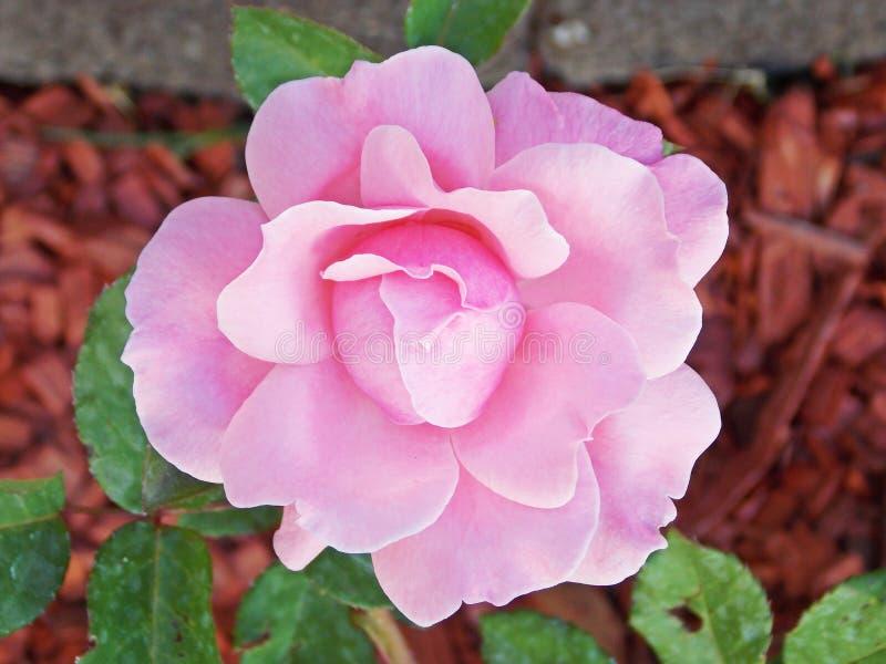 Pink Flower Blossom Free Public Domain Cc0 Image