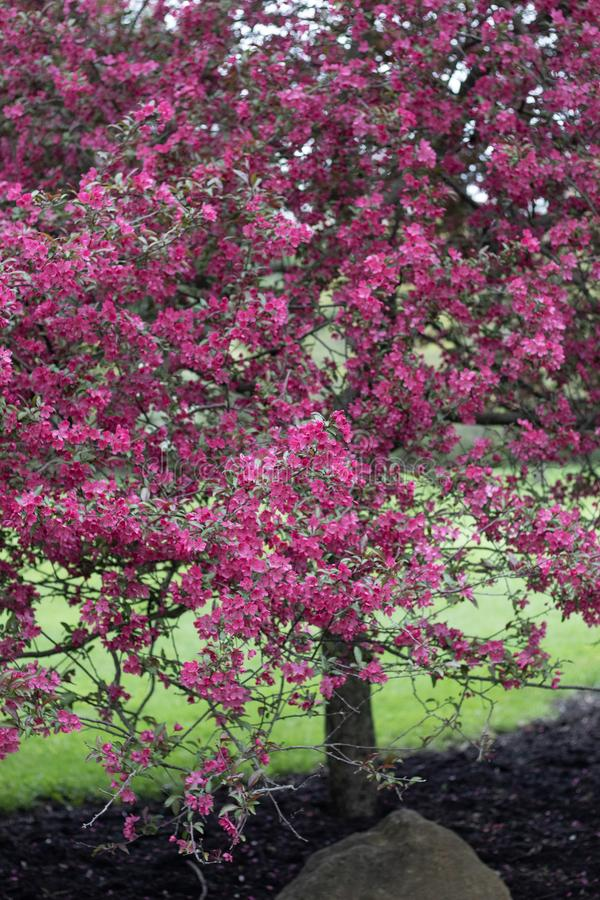 Pink flower blossoms tree in Cleveland Metroparks in Ohio stock image