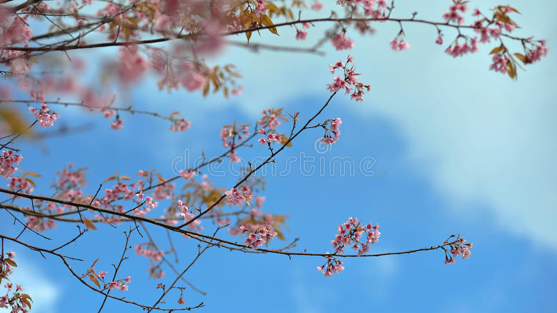 Pink flower on blue sky cloud sunshine day in the morning royalty free stock image