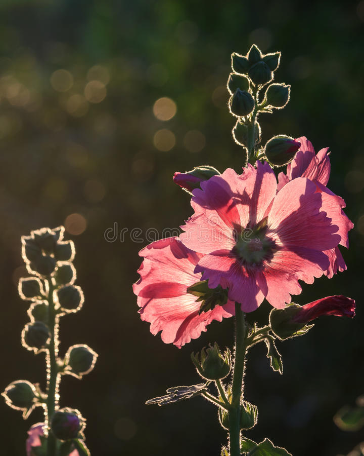 Pink flower with blurred back ground and light effect, Thailand. stock photo