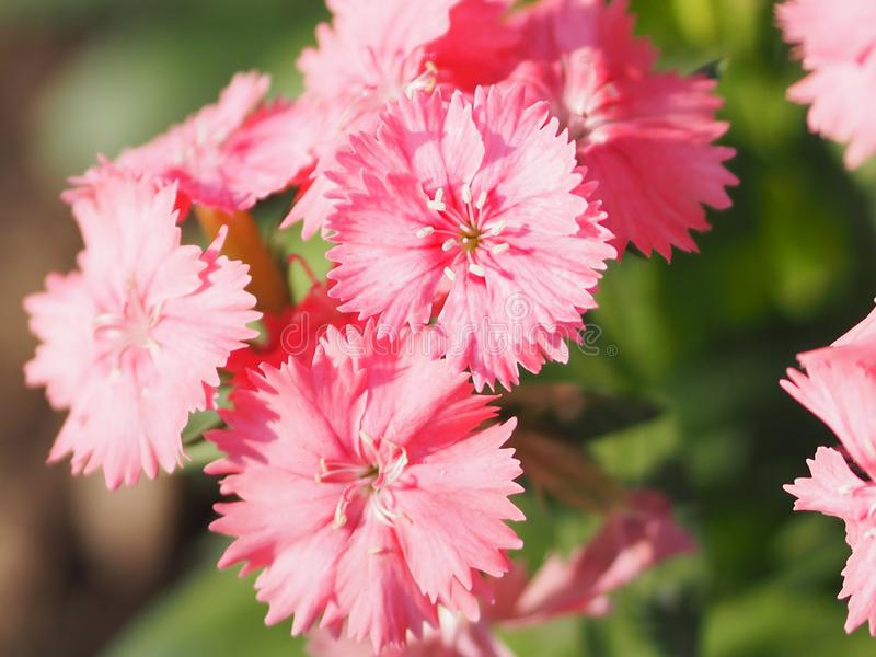 Pink flower bouquet on burred of nature background The petals look like a crushed edge royalty free stock photography