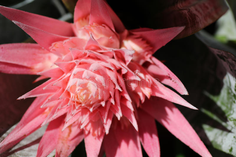 Pink flower on a bromeliad fasciata plant stock image image of download pink flower on a bromeliad fasciata plant stock image image of fasciata botanical mightylinksfo