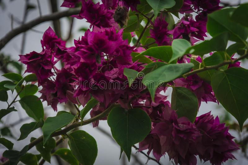 Pink flower in the bush in kerala. Floral, plant, gardening royalty free stock images