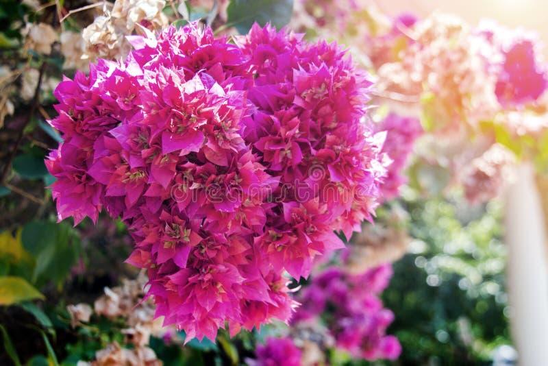 Pink flower bush in love season. Close up pink flower bush in love season in garden royalty free stock image