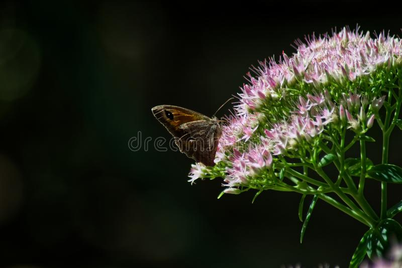 Pink flower with butterfly royalty free stock photography