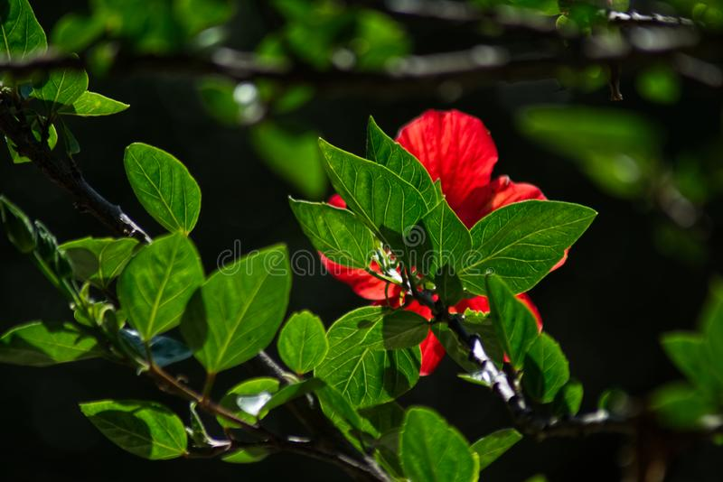 Red flower and green leaves of Chinese hibiscus royalty free stock image