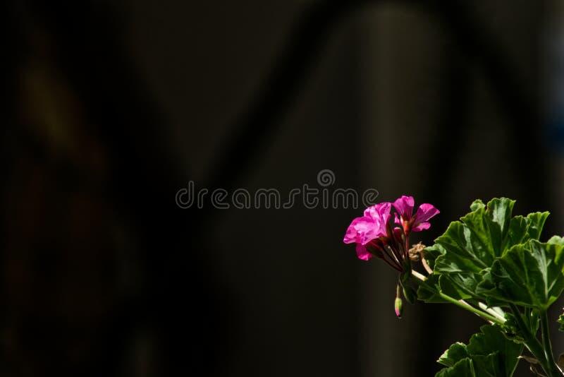 Pink flower of Pelargonium royalty free stock photos