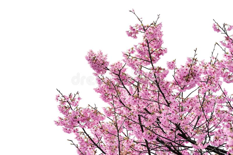 Pink flower, Cherry blossoms tree isolated on white background.  stock photo