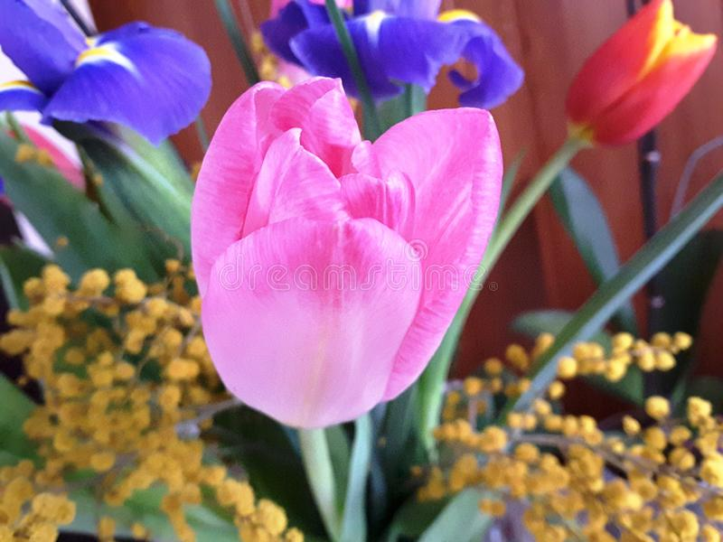 Pink flower close up. Delicate Tulip. stock photos