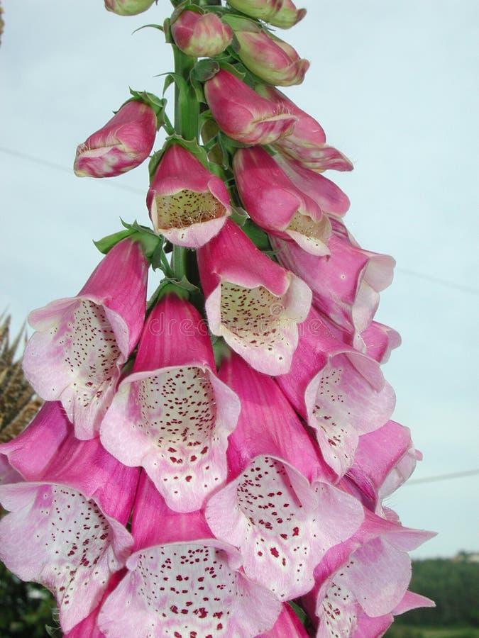 Pink flowers of Digitalis purpurea. Pink flower close up of Digitalis plant royalty free stock photos