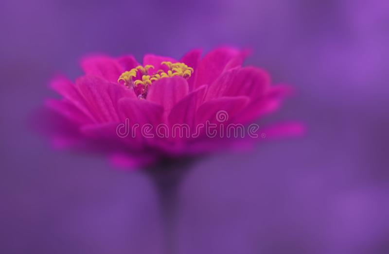 Pink flower close-up on a purple blurred background. Soft focus. stock images