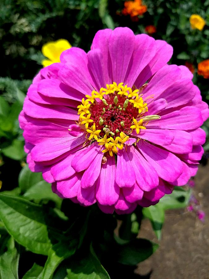 Pink flower close-up with. Yellow middle stock photos