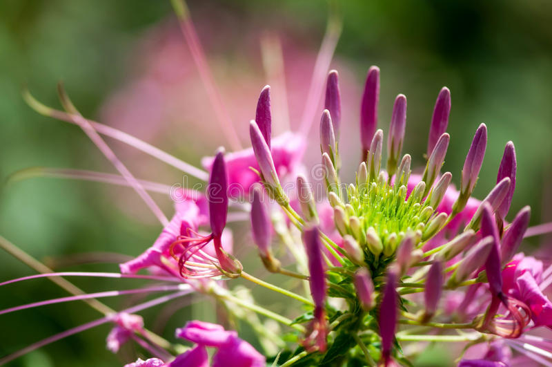 Pink flower closeup. And in detail royalty free stock image