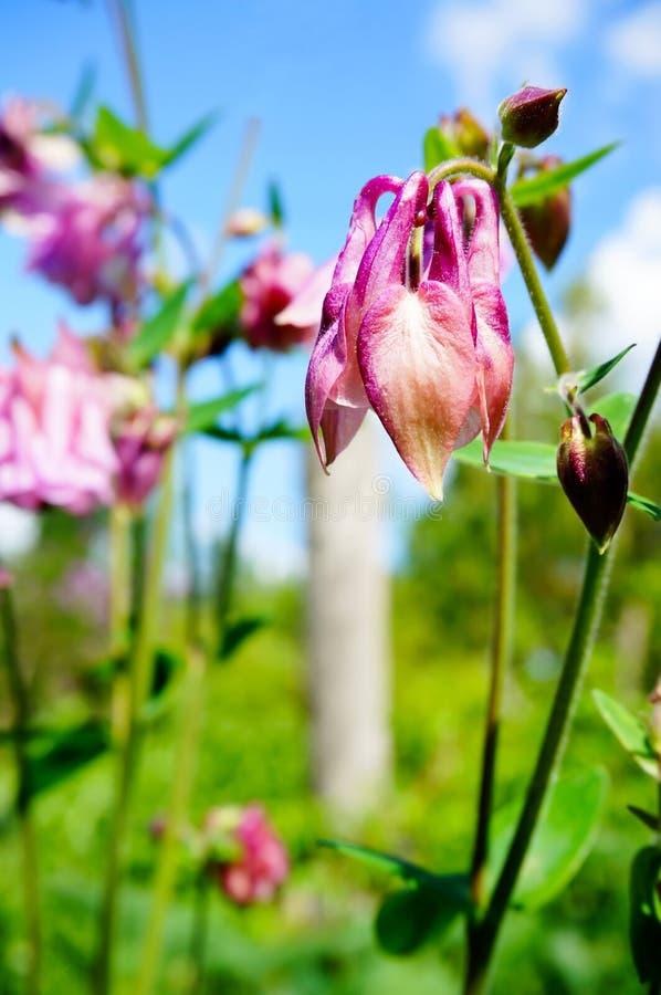Pink flower of European columbine (Aquilegia vulgaris) in sunny royalty free stock photos