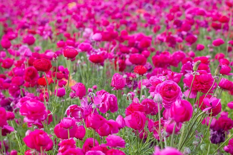 Pink flower field stock image image of gorgeous beautiful 13566679 pink flower field mightylinksfo