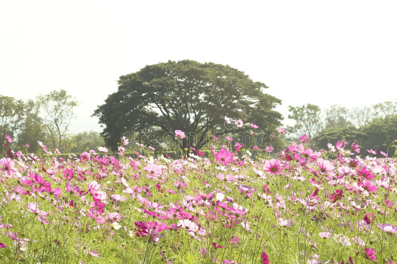 Pink flower field. With big tree royalty free stock image