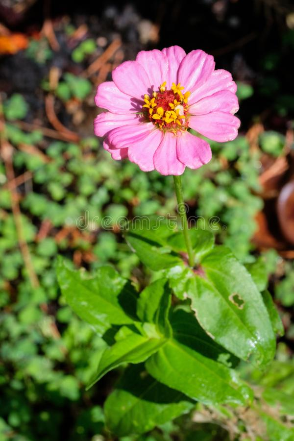 Organic pink flower fron the garden. Pink flower from the garden in the autumn season, Oregon royalty free stock photos
