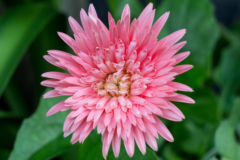 Pink flower of Gerber plant royalty free stock photo