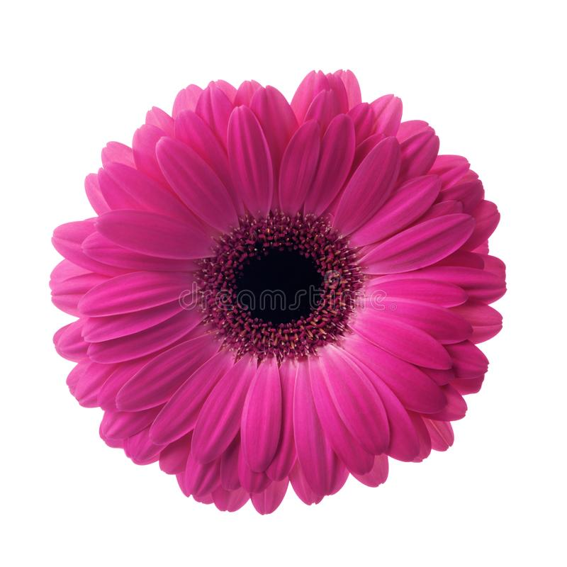 Pink flower gerbera isolated on white background stock image